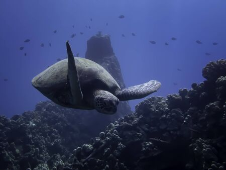 Sea turtle glides over coral covered reef with sunlight shining on its shell.  Underwater image taken in Hawaii. Stockfoto