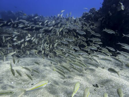 School of yellow striped goatfish swim over a coral reef underwater in Hawaii.