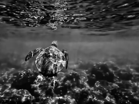 Green sea turtle swims towards surface of  water in abstract black and white underwater Hawaii image.