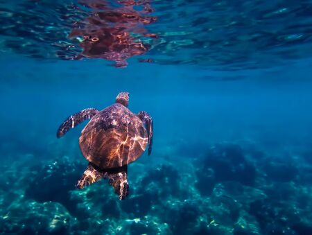 Green sea turtle swims towards surface of blue water in underwater Hawaii image. Stockfoto
