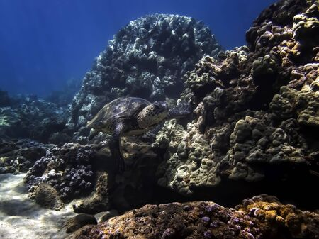 Hawaiian green sea turtle swims alongside lush coral reef in blue ocean water of Hawaii.