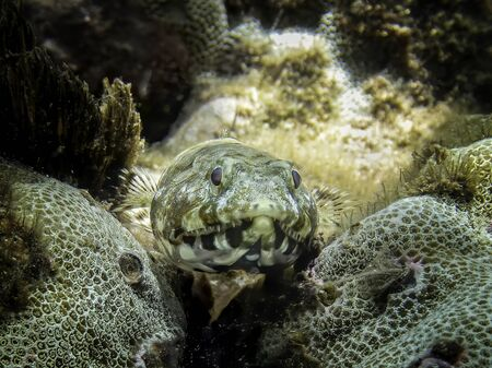 Close up of lizardfish resting on coral underwater in Hawaii.   Stockfoto