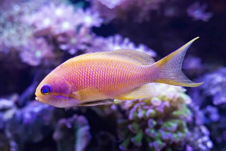 Closeup detail of blue eyed anthias tropical fish in aquarium with corals.  Image details fins tail and eyes of pink and yellow fish.