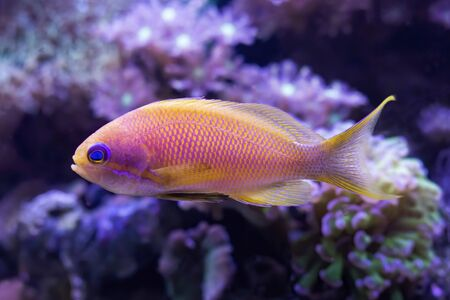 Close up detail of blue eyed anthias tropical fish in aquarium with corals.  Fish is bright pink and yellow.
