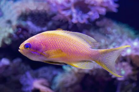 Close up detail of blue eyed anthias bright yellow and pink tropical fish in profile taken in aquarium. Stockfoto