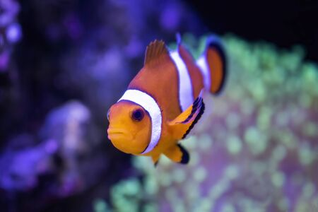 Close up of tropical clown fish looking at camera with corals in aquarium. Stockfoto