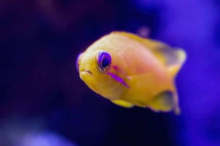 Bright yellow and neon pink close up of blue eyed anthias tropical fish in fishtank.