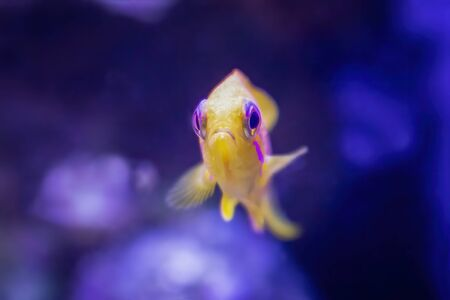 Blue eyed anthias bright yellow tropical fish stares at camera close up in fish tank. Stockfoto
