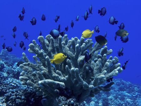 Yellow tang tropical fish with large school of damselfish surround antler coral in underwater image.