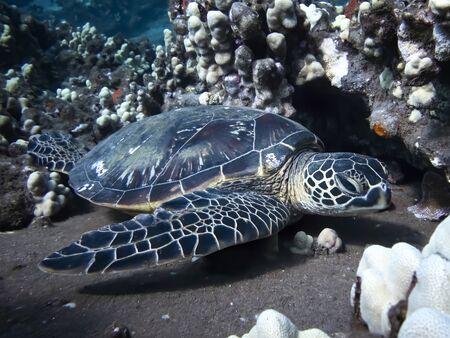 Hawaiian green sea turtle resting on coral reef in underwater image.