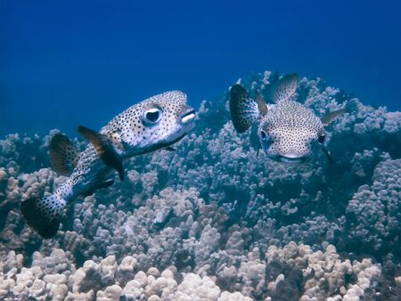 Close up underwater image of two puffer fish over coral reef in blue ocean. Imagens