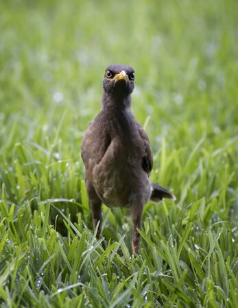 Myna bird stares at the camera while standing in green grass in Hawaii.