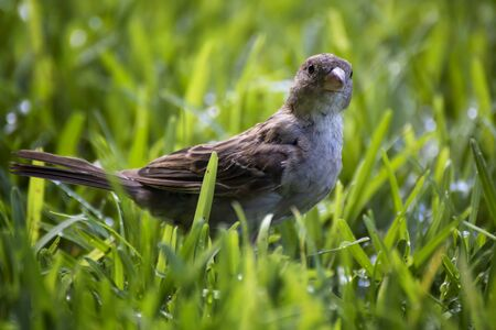 Close up image of female house finch in grass looking at camera from low angle view in Hawaii.