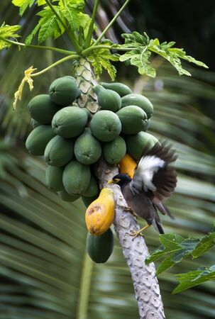 Myna bird lands on tropical papaya tree to eat ripe fruit.