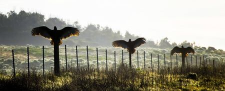Three turkey vultures or buzzards spread their wings backlit by sunrise while sitting on fenceposts in California.
