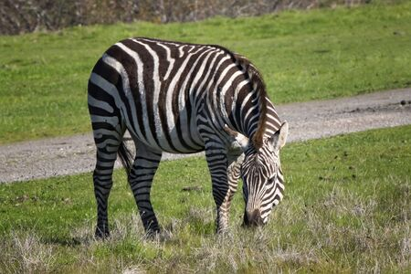 Close up zebra eating grass on sunny day along California coast.