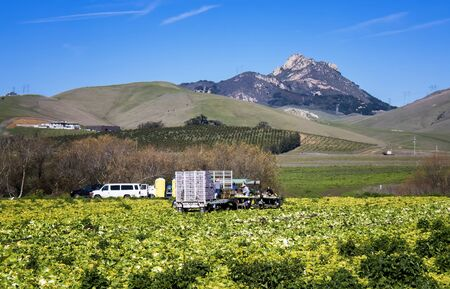 Workers harvest crops in California's Central Coast agriculture region under blue sky with foothills in background.