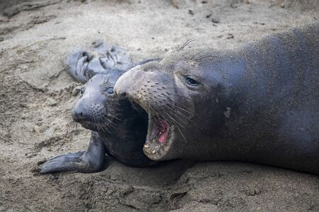 Mother and newborn northern elephant seal pup close up on beach in California.