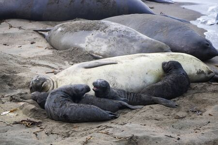 Female northern elephant seal with group of nursing pups on a California beach.