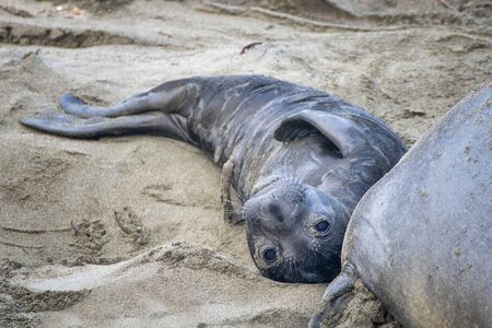Newborn northern elephant seal pup with umbilical cord still attached looks at camera on California beach close up. Imagens