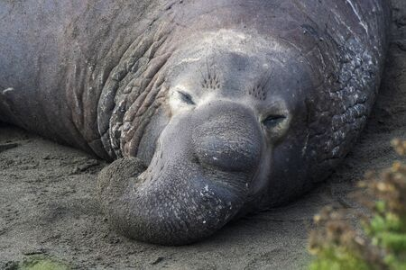 Huge male northern elephant seal rests with proboscis nose on a beach close up in California. Imagens