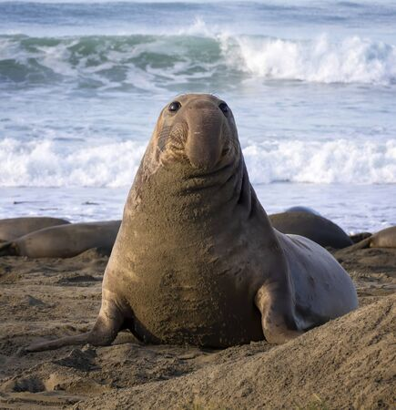Young male northern elephant seal with dangling proboscis nose sits up on California beach in morning light.