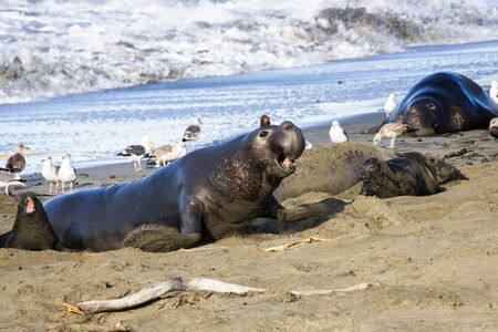 Male northern elephant seal charges across the sand in a California seal colony with females and pups. Foto de archivo