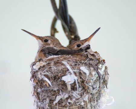 Two baby hummingbirds share a nest in close up image with white background.