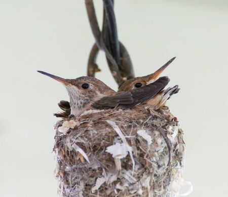 Baby Hummingbirds have almost outgrown their nest in close up image against white background. Imagens