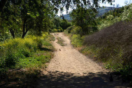 Single wild rabbit sits on dirt trail surrounded by yellow wildflowers and trees in southern California.