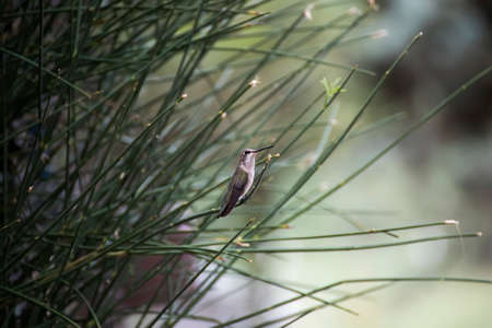 Female black chinned hummingbird perched quietly in green branches in Arizona.
