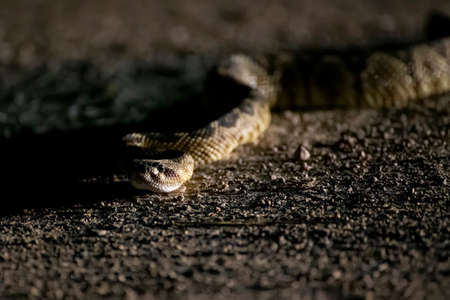 Black tailed rattlesnake crawling towards camera on dirt road in low angle nighttime close up taken in Arizona.