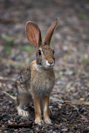Young antelope jackrabbit sits looking at the camera in low angle face first close up image. Stock fotó