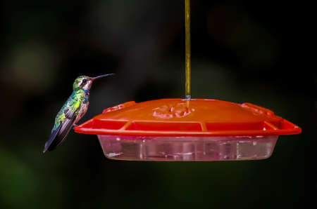 Brightly colored broad billed hummingbird perched on red feeder in close profile with muted green background. Banco de Imagens