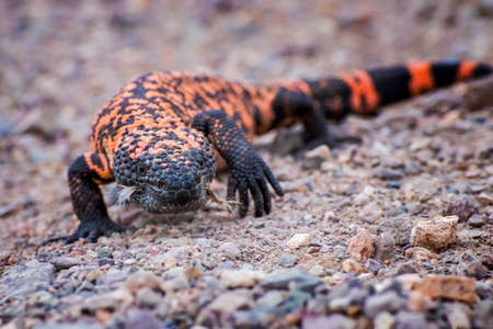 Gila Monster walks towards camera in low angle close up on dirt road in Arizona.