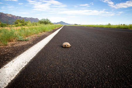 Ornate box turtle in the road in the Arizona desert.