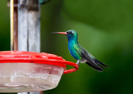 Broad billed hummingbird with bright green and blue feathers and red beak perched in close up profile. Stock fotó