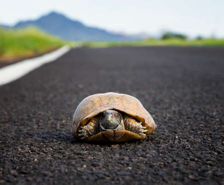 Male ornate or desert box turtle sits in roadway in Arizona desert low angle close up image.