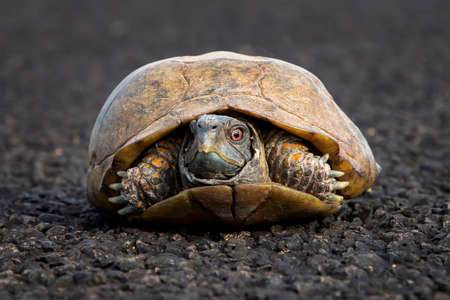 Male ornate or desert box turtle with bright red eyes in low angle close up sitting in road in Arizona. Stock fotó
