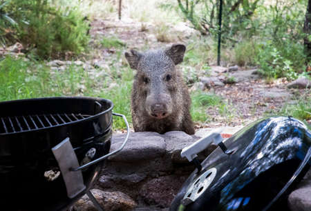 Wild Javalina pig looks reproachfully past barbeque towards camera on porch.