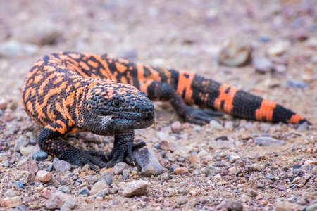 Close up low angle venomous Gila Monster lizard standing on dirt road in Arizona.
