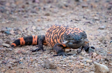 Gila Monster venomous lizard looks at camera in low angle close up as it stands in dirt road in Arizona.