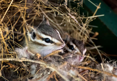 Pair of tiny cliff chipmunks peek out from nest in close up image from Arizona.