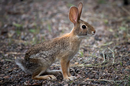 A young antelope jackrabbit is watchful in close up profile. Stock fotó