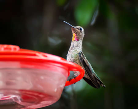 Rufous or Allen's hummingbird perched in low angle close up image with light shining on brightly colored throat feathers.