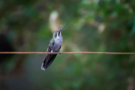 Female blue throated hummingbird perched on copper wire with beak tilted upward and eye looking at camera on green background. Banco de Imagens