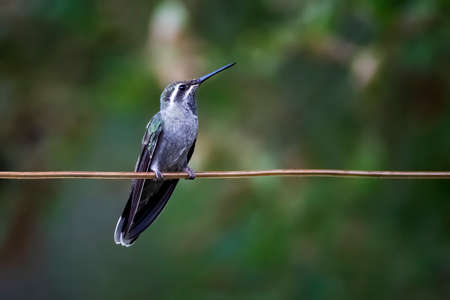 Female blue throated hummingbird perched on copper wire against green background looking in profile at camera.