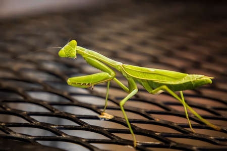 Close up praying mantis bug with head turned looking at camera standing on black bench.