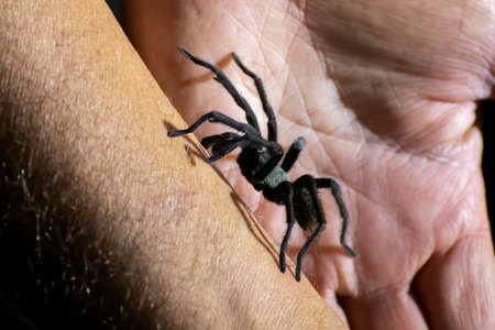 Dwarf tarantula climbs up man's arm in close up nighttime image from Arizona. Stock fotó