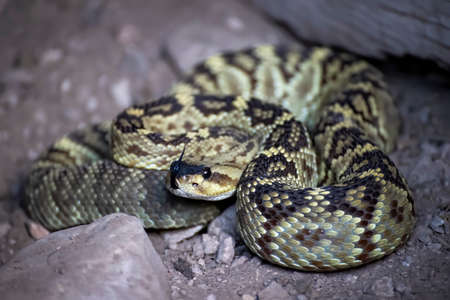 Black tailed rattlesnake coiled up with tongue out in close up low angle image from Arizona.